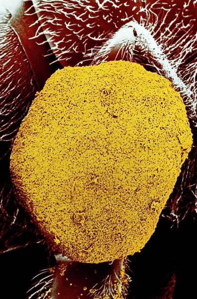 Honey Photograph - Sem Of Pollen Basket by Dr Jeremy Burgess