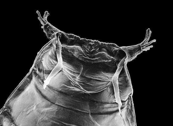 Pupa Photograph - Sem Of Pupa Case Of Fruit Fly by Dr Jeremy Burgess/science Photo Library.