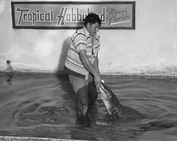 Florida Alligator Photograph - Seminole Alligator Wrestling by Underwood Archives