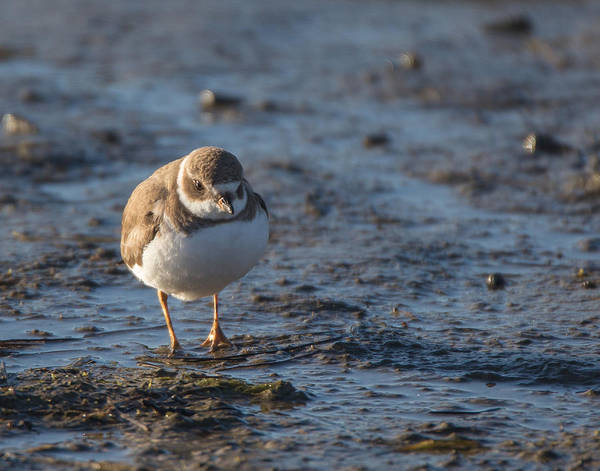 San Elijo Wall Art - Photograph - Semipalmated Plover by Dusty Wynne
