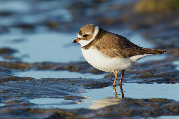 Wall Art - Photograph - Semipalmated Plover by Ken Archer