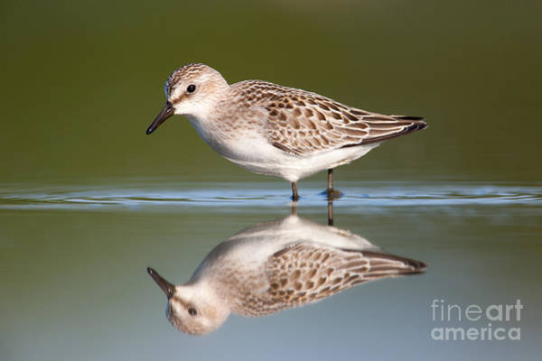 Scolopacidae Photograph - Semipalmated Sandpiper IIi by Clarence Holmes