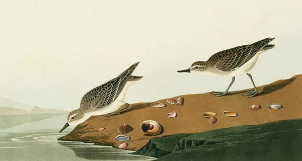 Wall Art - Photograph - Semipalmated Sandpiper by Natural History Museum, London/science Photo Library