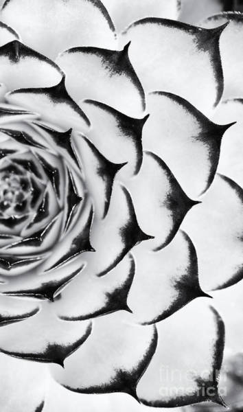 Succulent Wall Art - Photograph - Sempervivum Pattern Monochrome by Tim Gainey