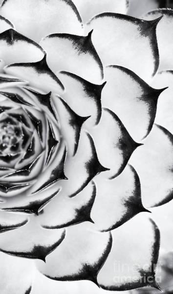 Succulent Photograph - Sempervivum Pattern Monochrome by Tim Gainey