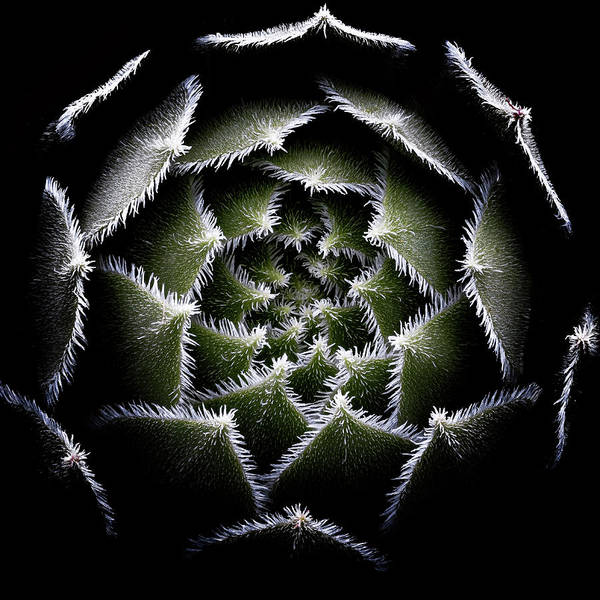 Wall Art - Photograph - Sempervivum Rosette by Victor Mozqueda