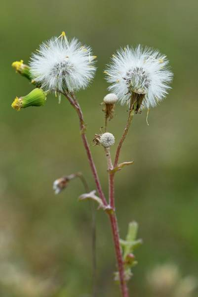 Asteraceae Photograph - Senecio Vulgaris Flowers And Seed Heads by Bob Gibbons/science Photo Library