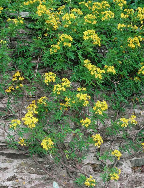 Horticulture Photograph - Senna X Floribunda by Geoff Kidd/science Photo Library