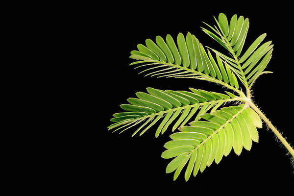 Mimosas Photograph - Sensitive Plant With Leaves Open by Science Stock Photography/science Photo Library