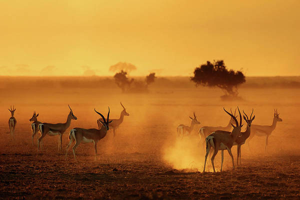 Antelope Photograph - Sentinels by Mathilde Guillemot
