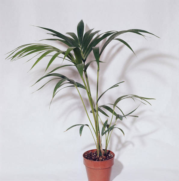 Sentry Wall Art - Photograph - Sentry Palm (howea Forsteriana) by Science Photo Library