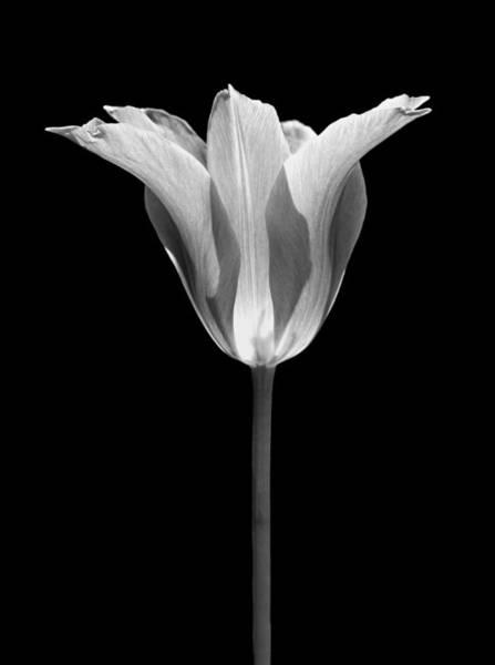 Jennie Photograph - Sentry Tulip Flower Black And White by Jennie Marie Schell