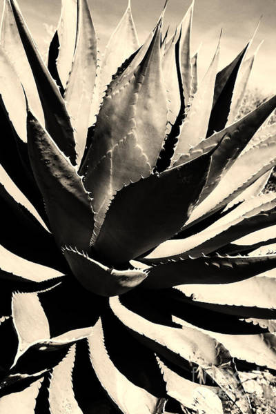 Photograph - Sepia Agave by Thomas R Fletcher