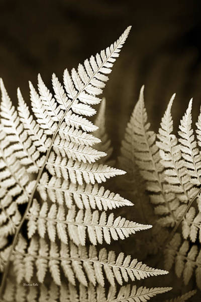 Earthtones Photograph - Sepia Fern Leaf by Christina Rollo