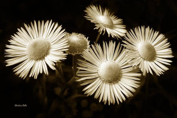 Photograph - Sepia Flowers by Christina Rollo
