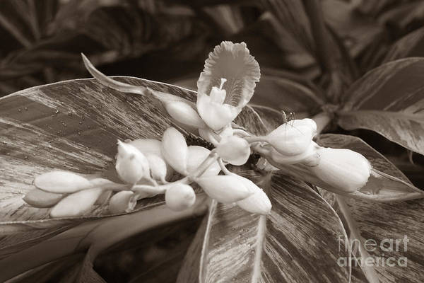 Wall Art - Photograph - Sepia Ginger Lily Blossom And Assassin Bug by Connie Fox