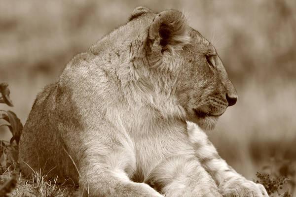 Photograph - Sepia Lion Portrait by Aidan Moran