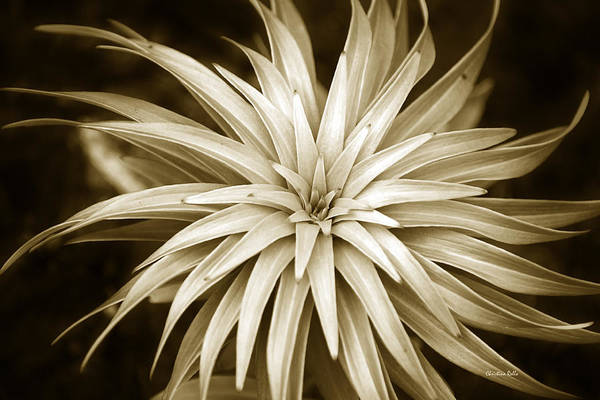 Photograph - Sepia Plant Spiral by Christina Rollo