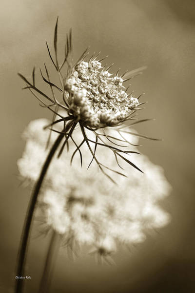 Photograph - Sepia Wildflower Art by Christina Rollo