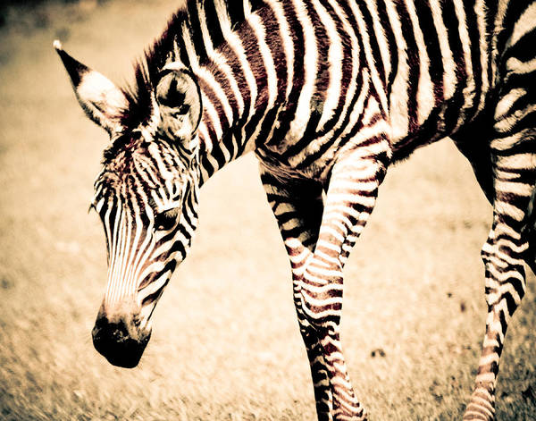 Photograph - Sepia Zebra Foal by Maggy Marsh