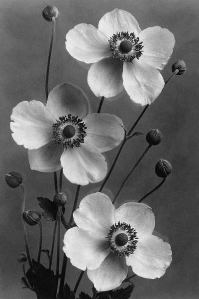 Flower Petals Photograph - September Charm Anemones by J. Horace McFarland