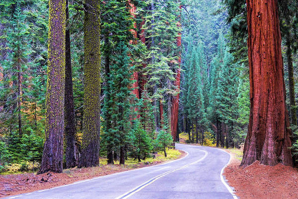 Sequoia Hwy Art Print