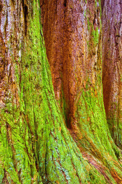 Photograph - Sequoia Tree Trunks Covered With Moss by Matthias Hauser