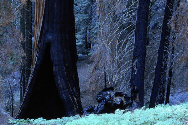 Wall Art - Photograph - Sequoias, California, Usa by Peter Essick