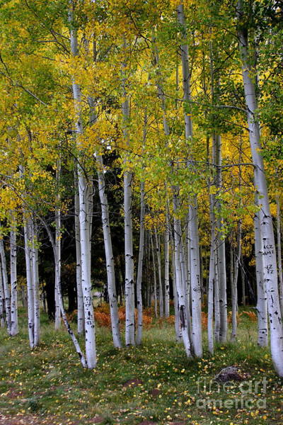 Wall Art - Photograph - Serendipitous Aspen Trees by Ruth Jolly