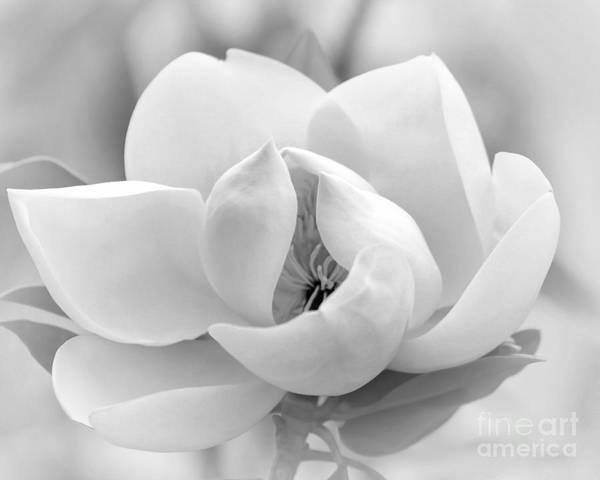 Photograph - Serene Magnolia by Sabrina L Ryan