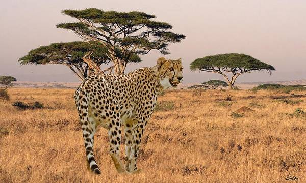 Photograph - Serengeti Cat by Larry Linton