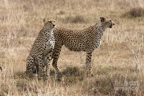 Photograph - Serengeti Cheetahs by Chris Scroggins