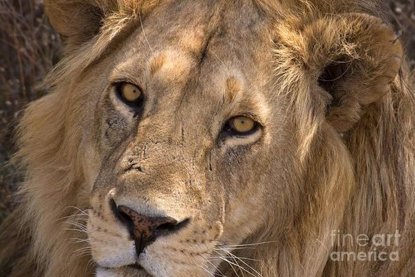 Photograph - Serengeti Lion by Chris Scroggins