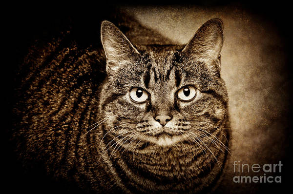 Wall Art - Photograph - Serious Tabby Cat by Andee Design