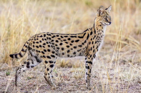 Feline Photograph - Serval Hunting by Jeffrey C. Sink