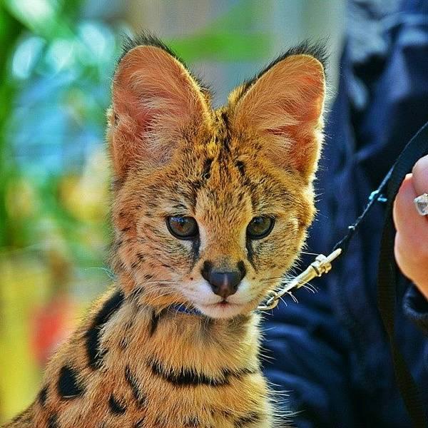 Jaguar Photograph - Serval Wild Cat. #natural #nature #swag by Nick Soar