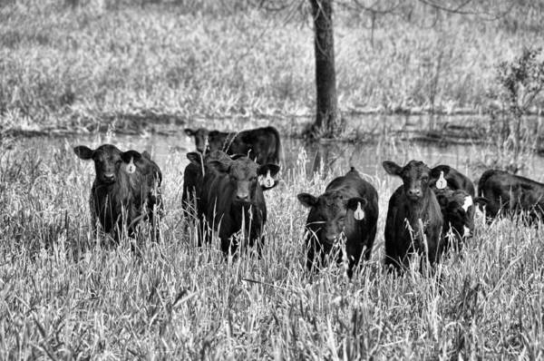 Bovine Photograph - Eight Babies by Jan Amiss Photography