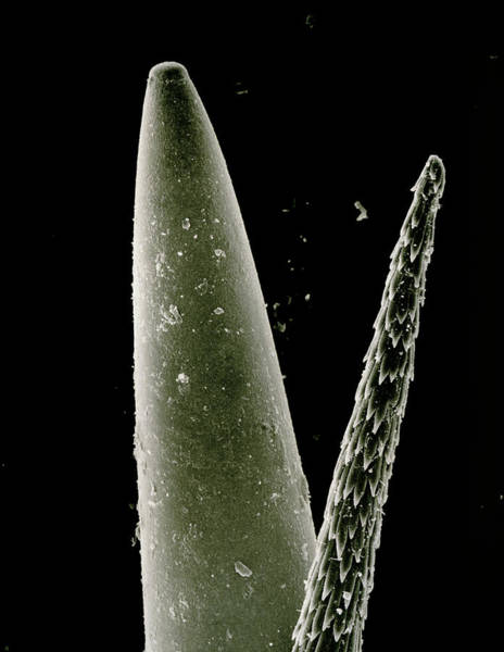 Opuntia Photograph - Sewing Needle And Spine Of Cactus by Dr Jeremy Burgess/science Photo Library.