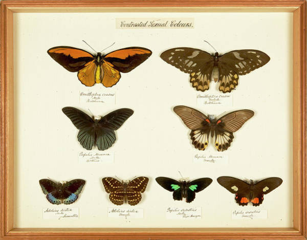 1800s Wall Art - Photograph - Sexual Dimorphism In Butterflies by Natural History Museum, London