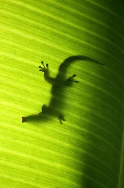 Photograph - Seychelles Small Day Gecko by Fabrizio Troiani