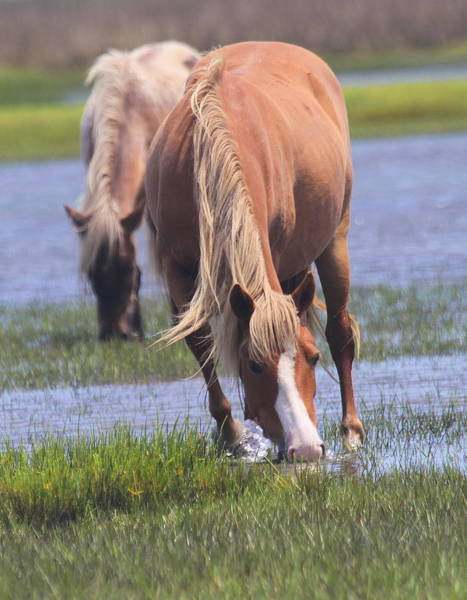Harkers Island Photograph - Shackleford Banks Ponies 2014 13 by Cathy Lindsey