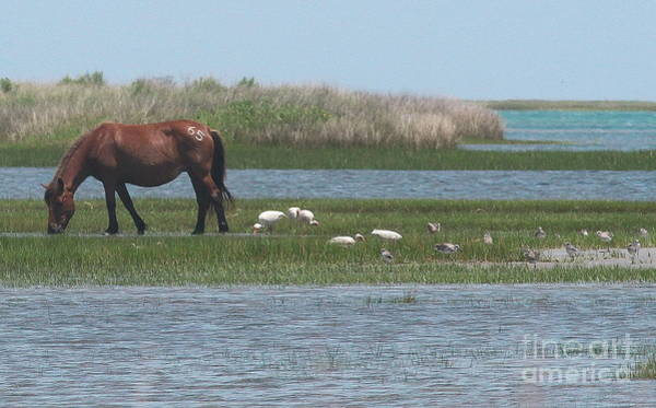 Harkers Island Photograph - Shackleford Horse And Friends by Cathy Lindsey