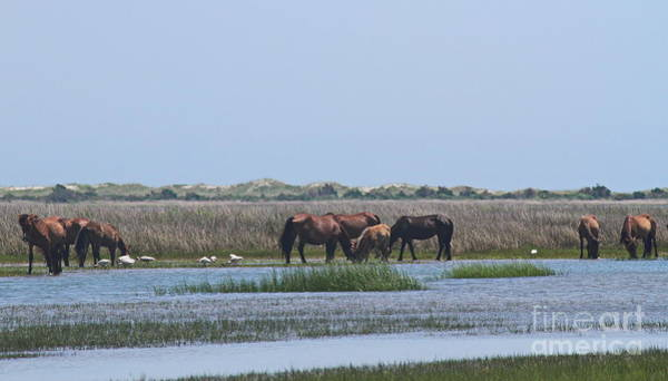 Harkers Island Photograph - Shackleford Horses And Friends 4 by Cathy Lindsey
