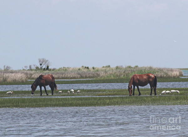Harkers Island Photograph - Shackleford Horses And Friends by Cathy Lindsey