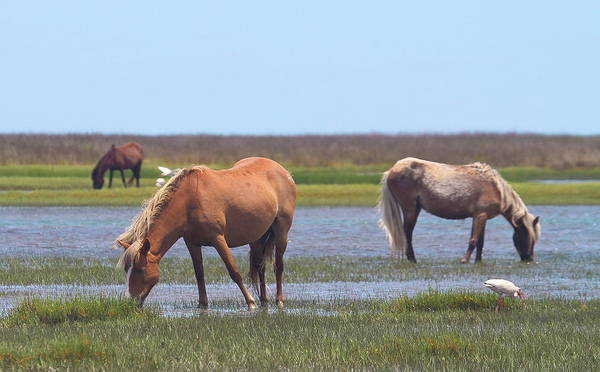 Harkers Island Photograph - Shackleford Ponies 2014 10 by Cathy Lindsey