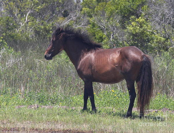 Harkers Island Photograph - Shackleford Pony 3 by Cathy Lindsey