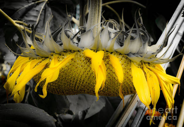 Filoli Photograph - Shaded Sunflower by Amy Fearn