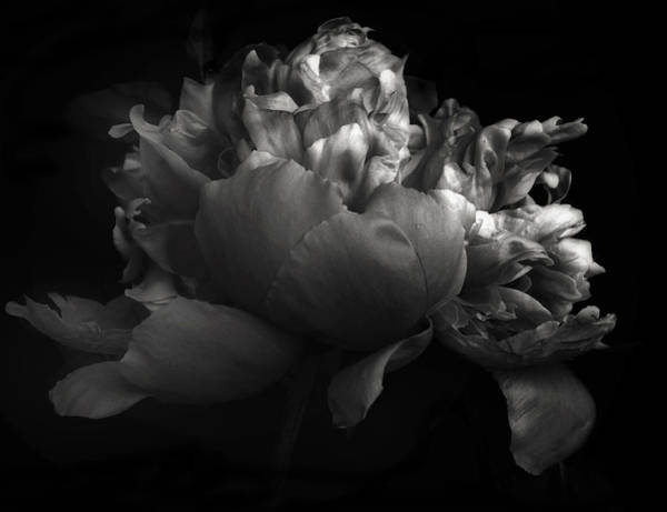 Photograph - Shades Of A Peony by Jessica Jenney