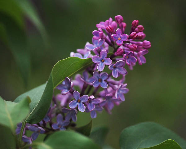 Photograph - Shades Of Lilac  by Rona Black