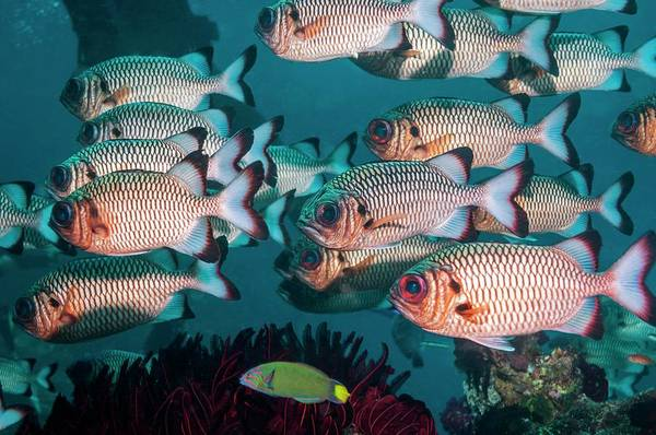 Wall Art - Photograph - Shadowfin Soldierfish by Georgette Douwma/science Photo Library